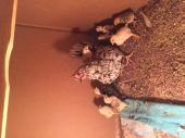 دجاجة بلدي مع فراخها