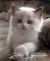 كيتينز راغدول للبيع شهرين  ragdoll kittens for sale