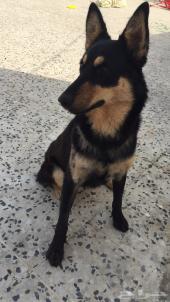 كلب للبيع جيرمن روتوايلر انثى