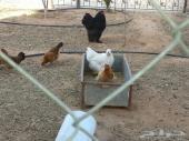 دجاج براهمه وبلدي