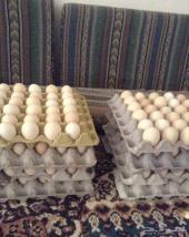 بيض بلدي ملقح للبيع عدد 15 طبق أمهات اسود صك