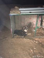 كلب هاسكي 4 شهور ونص