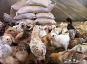 صيصان دجاج (بلدي-شركسي-فيومي)القنفذة
