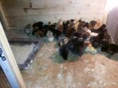 للبيع صوص دجاج بلدي