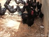 للبيع دجاج اسود صك بياض