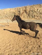 للبيع حصان انجليزي اسود عمره 10 سنوات خصي وهادي ويركبه الكبار والاطفال