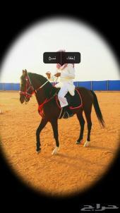 حصان عربي شعبي للبيع