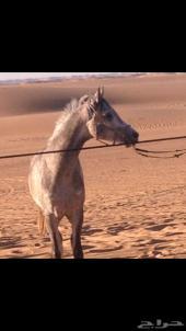 حصان عربي شعبي العمر 3 سنين و 4 أشهر طرب وسبوق