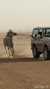 حصان عربي للبيع بدون أوراق