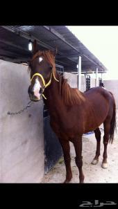 للبيع حصان عربي