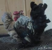 دجاج قزم أبها