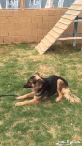 كلب جيرمن شيبرد مدرب طاعة للبيع