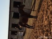 حصان عربي تم وضع الحد