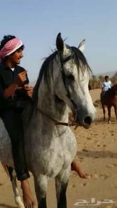 حصان للبيع شعبي جميل
