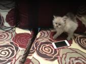 قطط للبيع صغار وأمهم