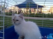 للبيع اربع قطط (( هيملايا )) بجده ...