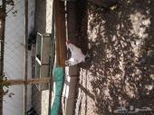 دجاج براهما في قمة النظافة