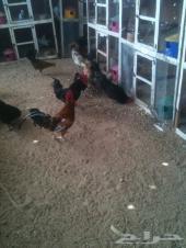 دجاج بياض للبيع فرصه