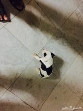 كلب بيتبول بيور عمره شهر و اسبوعين