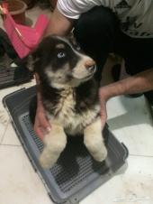 كلب هاسكي جرو 3 شهور