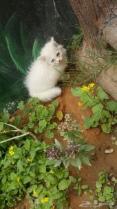 قط شيرازي صغير  جميل جدا