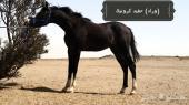 حصان عربي شعبي كفو