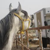 حصان بلش للبيع في مكة