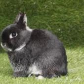 للبيع اندر انواع وفصائل ارانب الزينة ويوجد توصيل لجميع انحاء المملكة