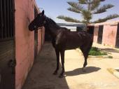 حصان خصي قفز حواجز  للبيع