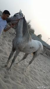 حصان للبيع واهو بالاوراق