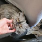 قطة جملية للبيع مستعجل باي سعر لظروف خاصة