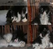 للبيع قطط شيرازي - مون فيس - بيكي فيس عالي - بيكي زرار