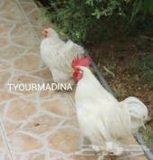دجاج كوشن