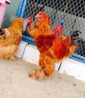 دجاج براهما افضل نوعيه للبيع