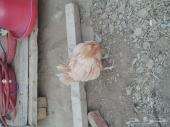 دجاج للبيع.المندق