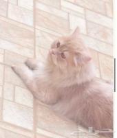 قطة شيرازية للبيع عاجلا