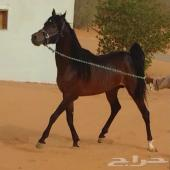حصان معه اوراق مافي الحكي فايده