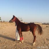 حصان واهو جميل