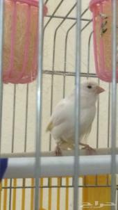 أنثى كناري سوري لون أبيض صحة ونظافة ( جاهزه )