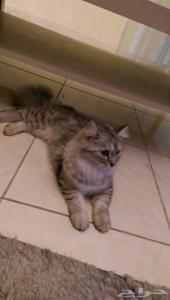 قطه انجورا تركي اليفة مع الصغير والكبير ( انثى )