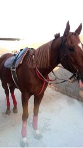 حصان سبووق