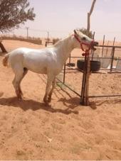 حصان للبيع بيور معسوف