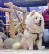كلب شاوشاو