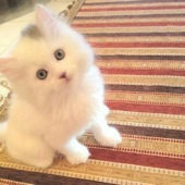 بيع وحجز قطط شيرازي بيور