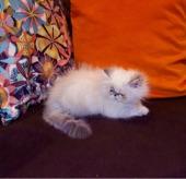 قطط هيمالايا بلو بوينت لينكس