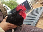 ديك اسود و دجاج للبيع