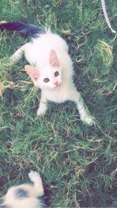 قطط شيرازيات للبيع داخل الرياض