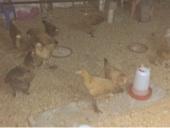 دجاج للبيع وفقاصاط دجاج