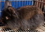 أرانب انقورا