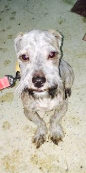 كلب تيريل فرنسي للبيع